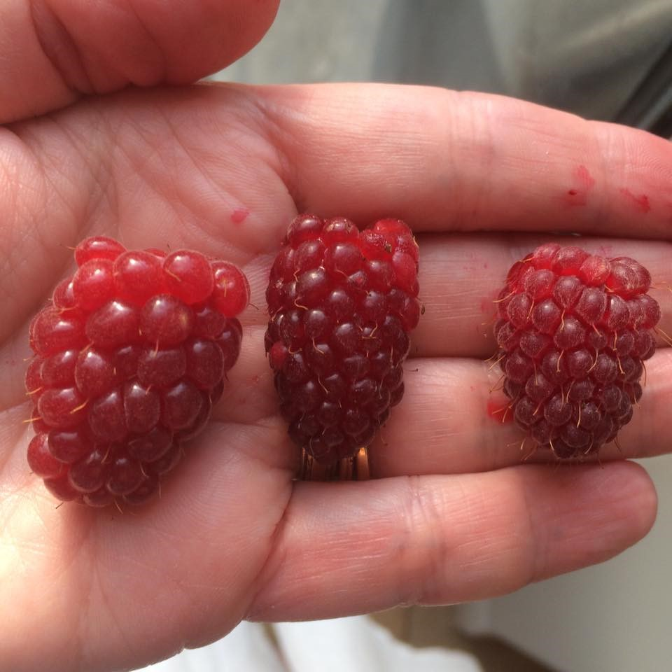 hybrids L to R tummelberry tayberry loganberry